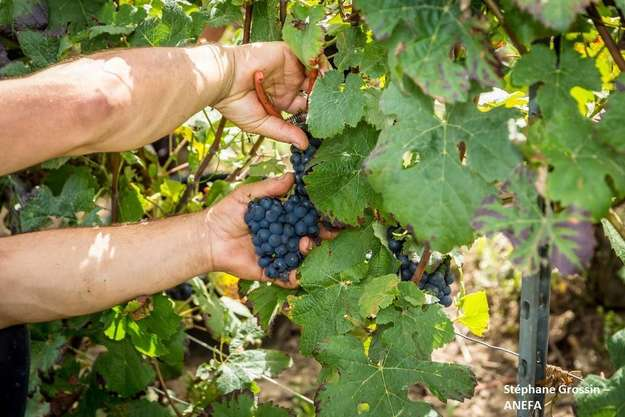 Photo de l'actualité Les vendanges pendant le COVID